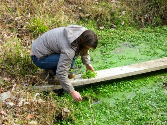 Needed a farm picture in here somewhere. Cutting watercress at runner Sarah's childhood home.