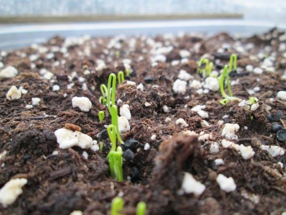 They live! They live! The cutest little onion seedlings you ever did see.