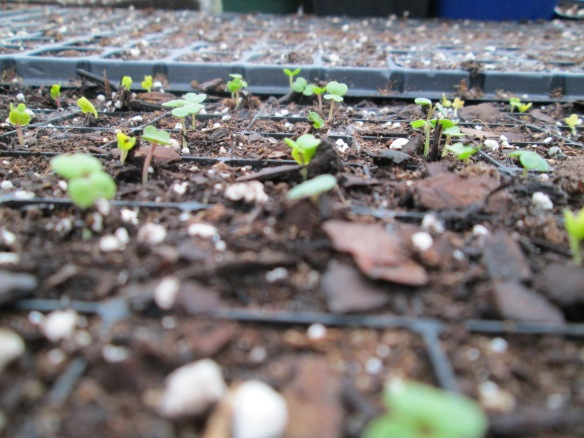 "These wee baby brassicas say ""Good morning, world!"""