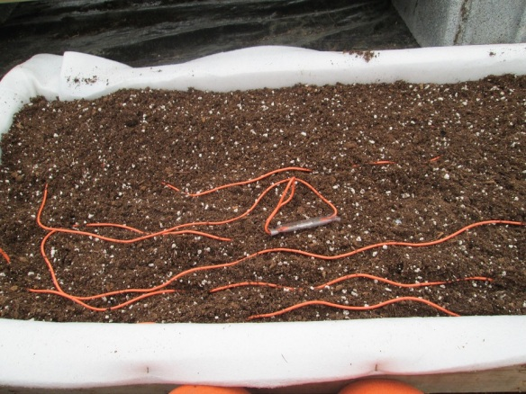 Painstakingly setting up the soil heating cables in the tomato and pepper propagation box. The wires can't touch or cross or they short out (or so I've heard).