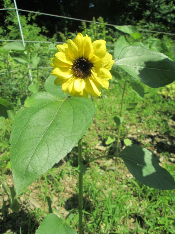THE FIRST SUNFLOWER