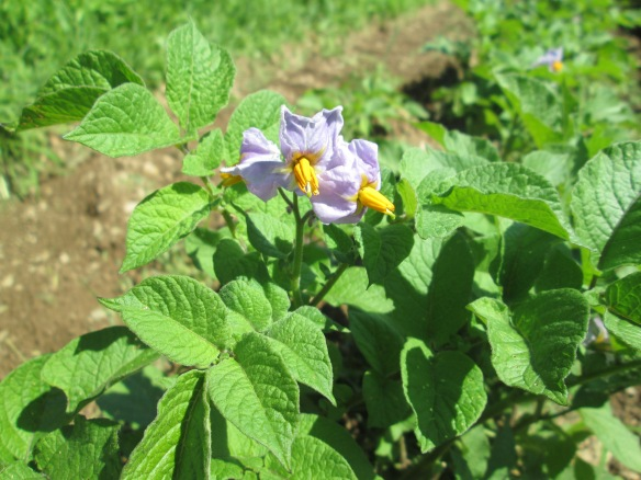 Blue potato flowers - not to be confused with red potato flowers