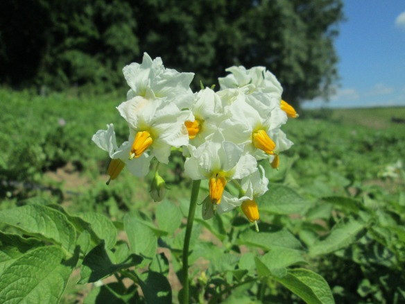 Carola potatoes! White flowers.