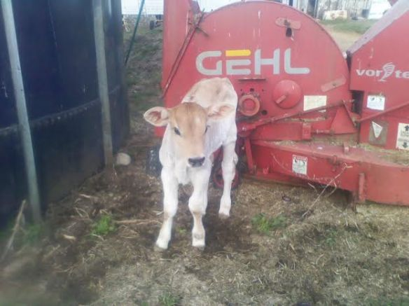 brown swiss baby
