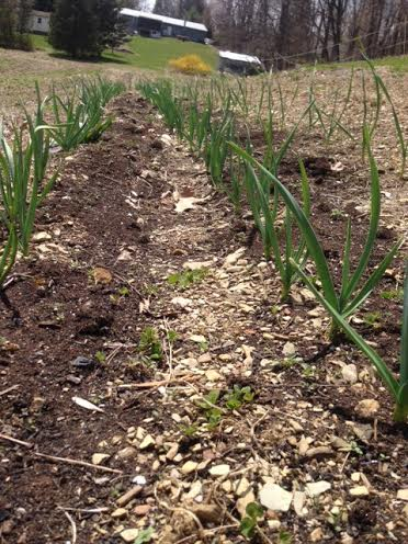 Garlic at the start of the week - happy and excited to grow!
