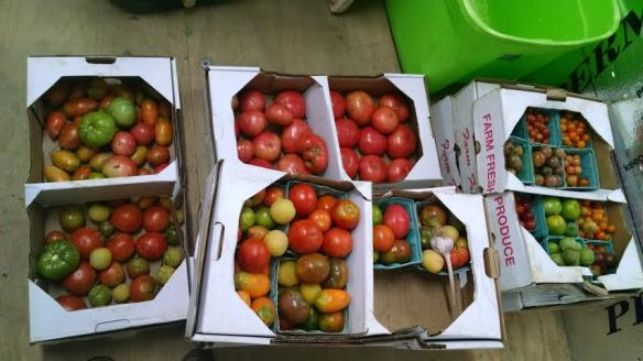 The brief season of crazy tomatoes