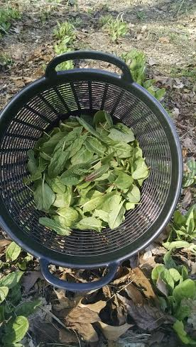 Sorrel picking
