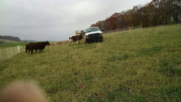 During our last move of the chickens, all the cows decided to come lick Reuben's truck.